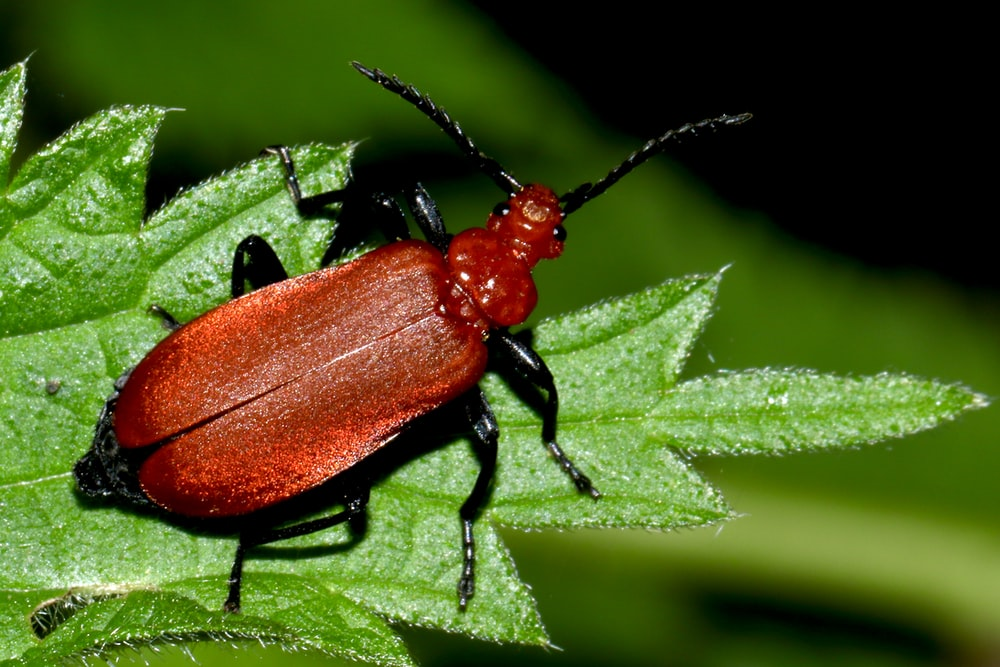 red and black beetle on green leaf