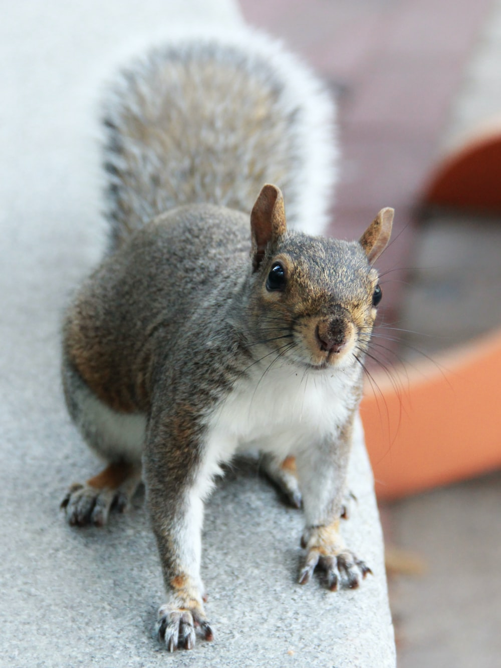 gray and white squirrel on gray concrete floor