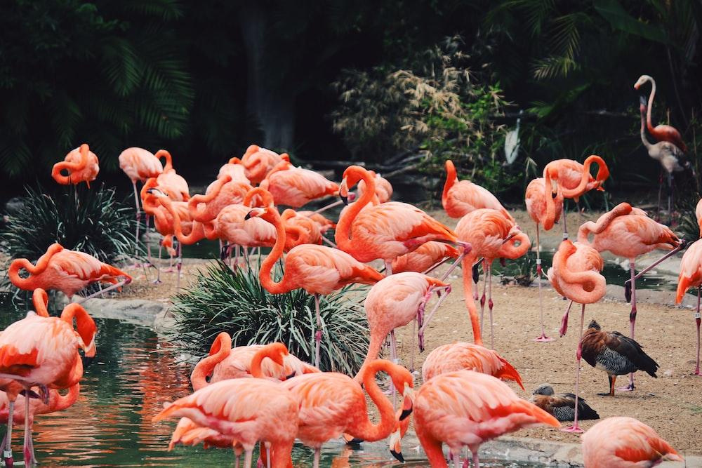 flock of flamingos on water