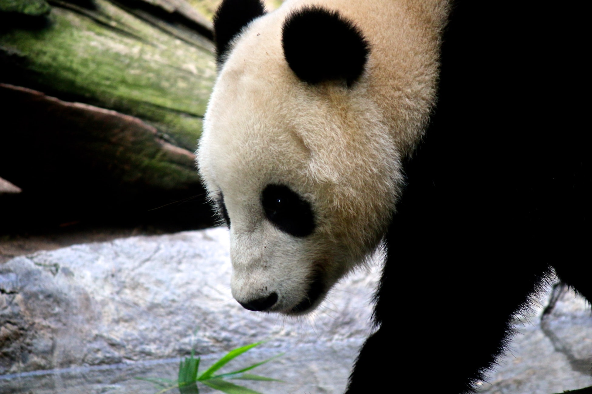 A Panda in San Diego Zoo - Things to Do in San Diego