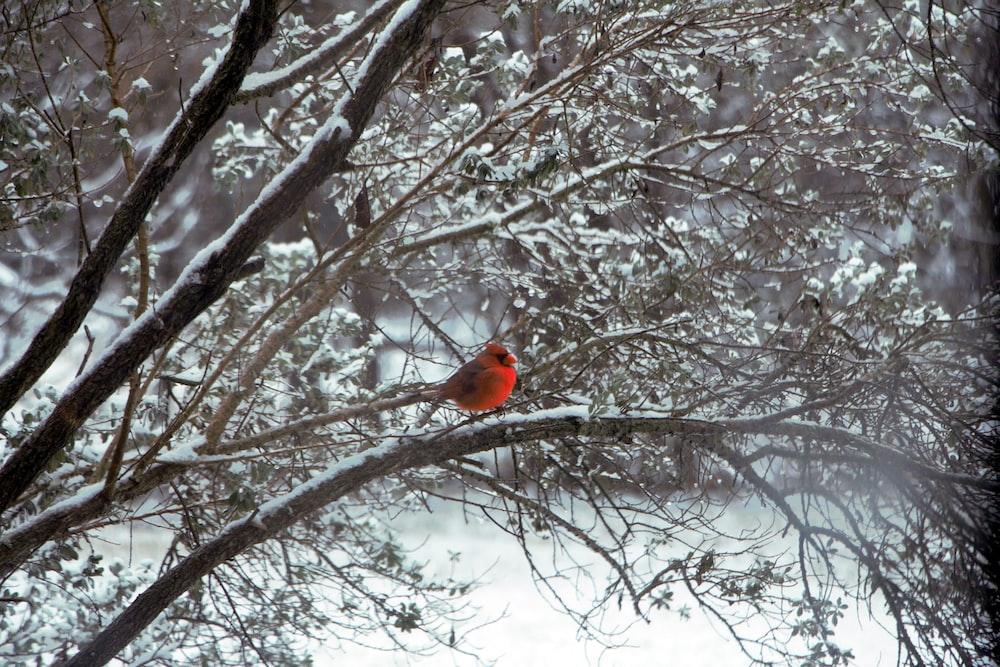 red cardinal bird on bare tree during daytime