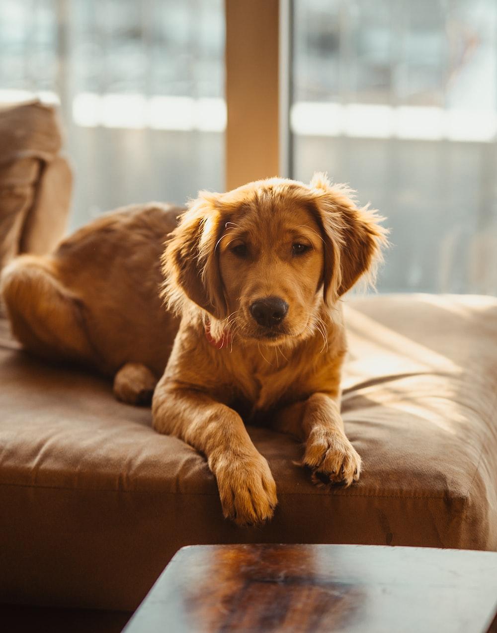 golden retriever puppy lying on brown wooden floor