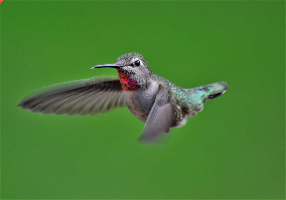 brown and gray humming bird