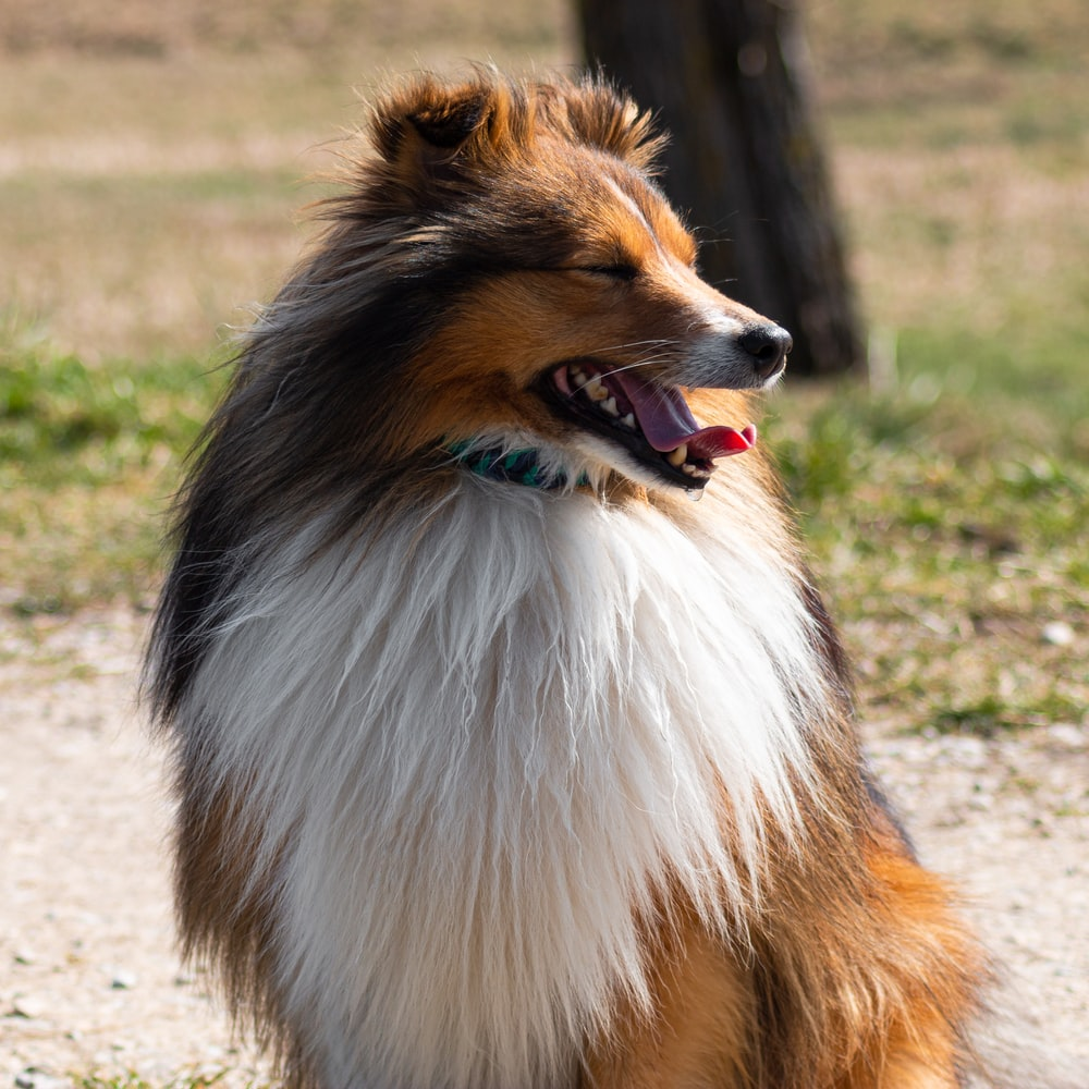 brown white and black rough collie