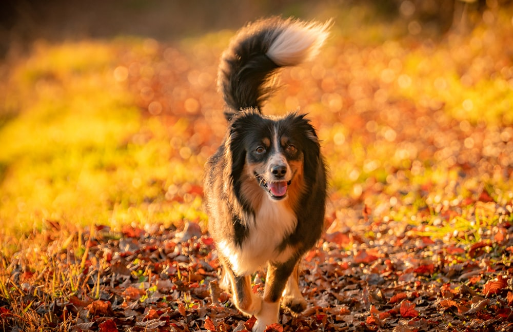 black white and brown long coated dog running on brown dried leaves during daytime
