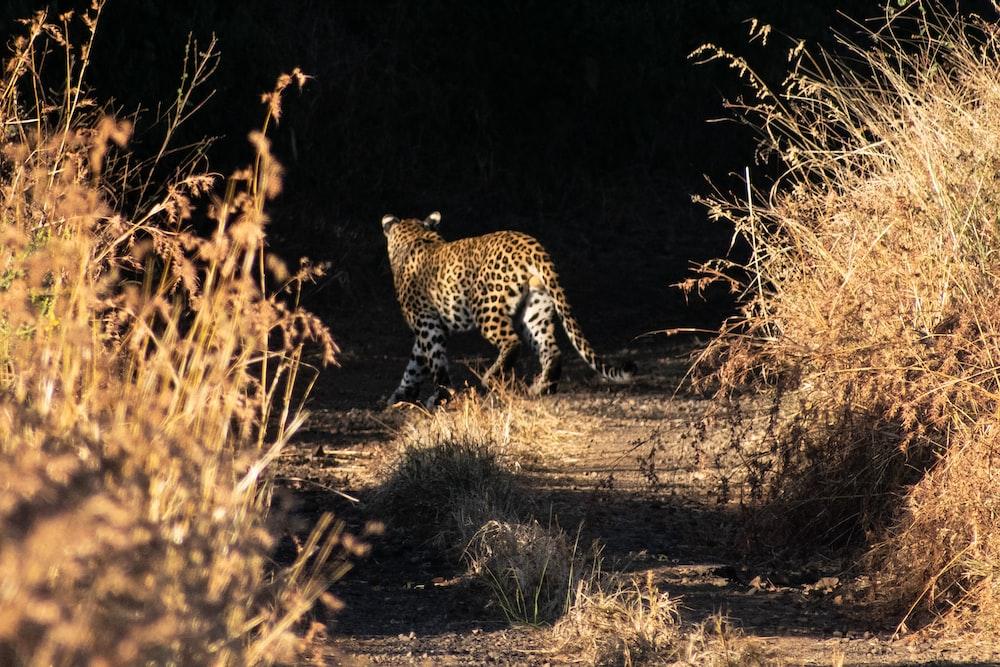 cheetah walking on brown grass field during daytime