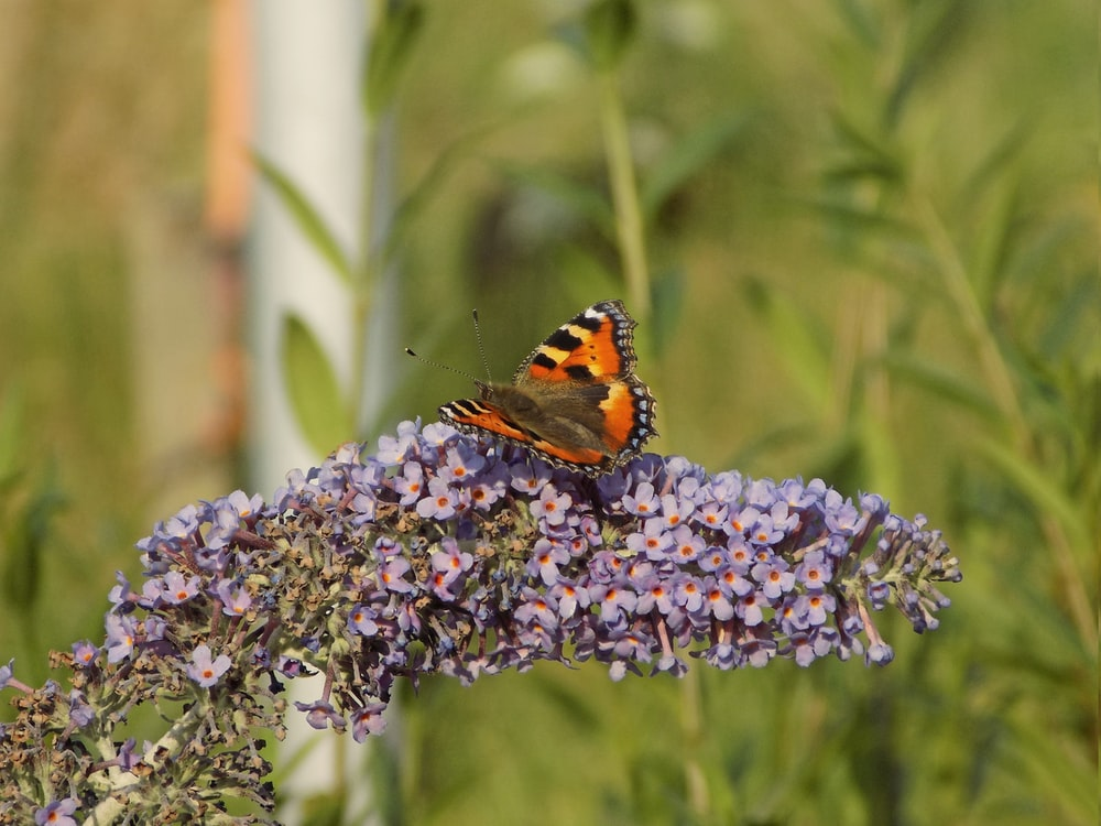 painted lady butterfly perched on purple flower