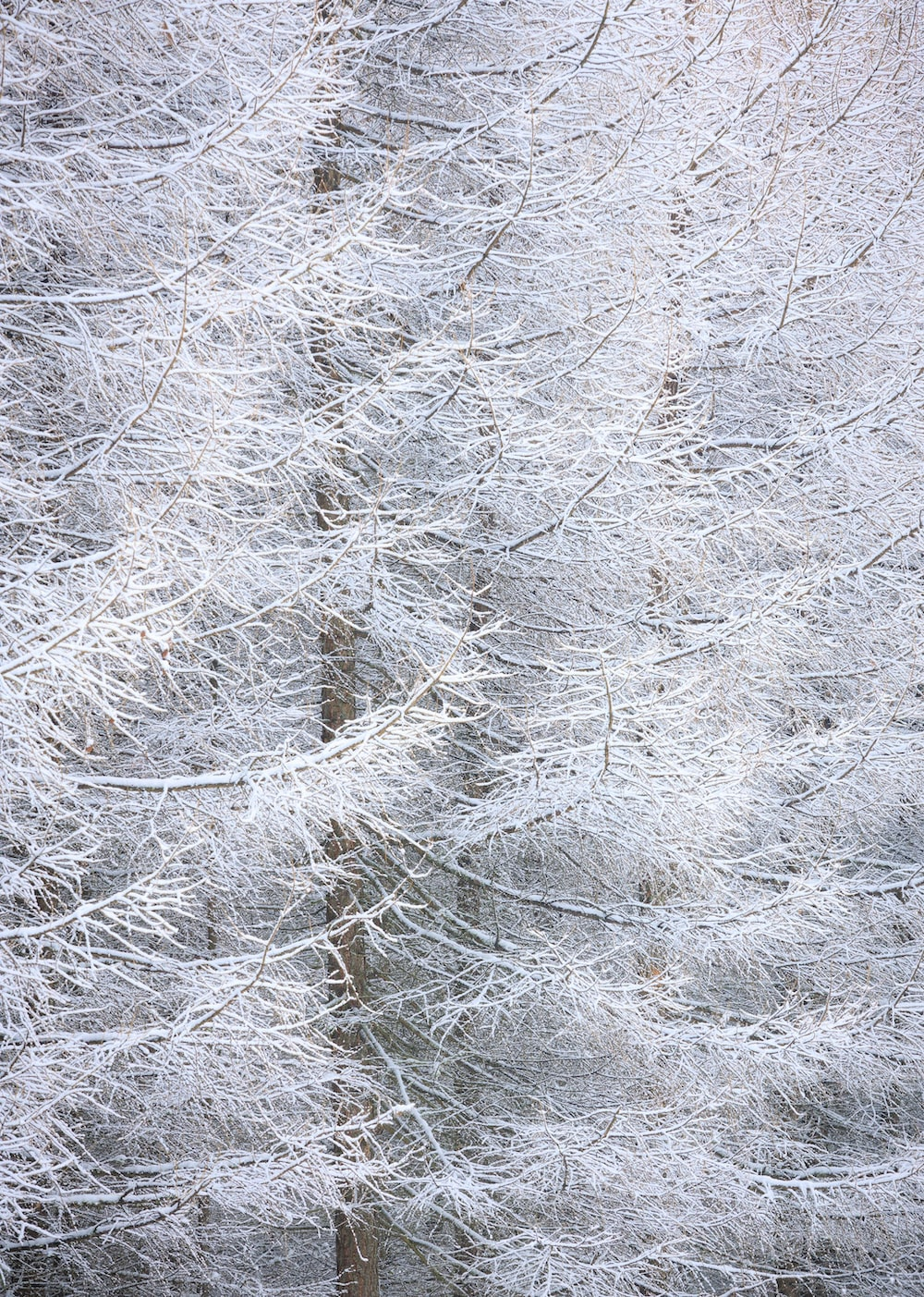 white snow on gray tree branches