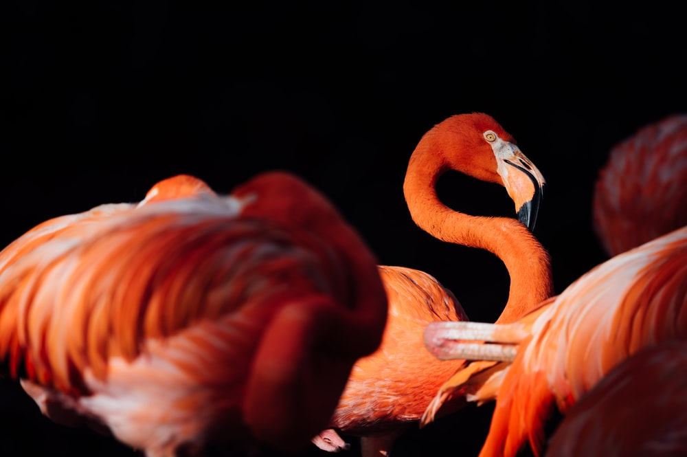 pink flamingo with black background
