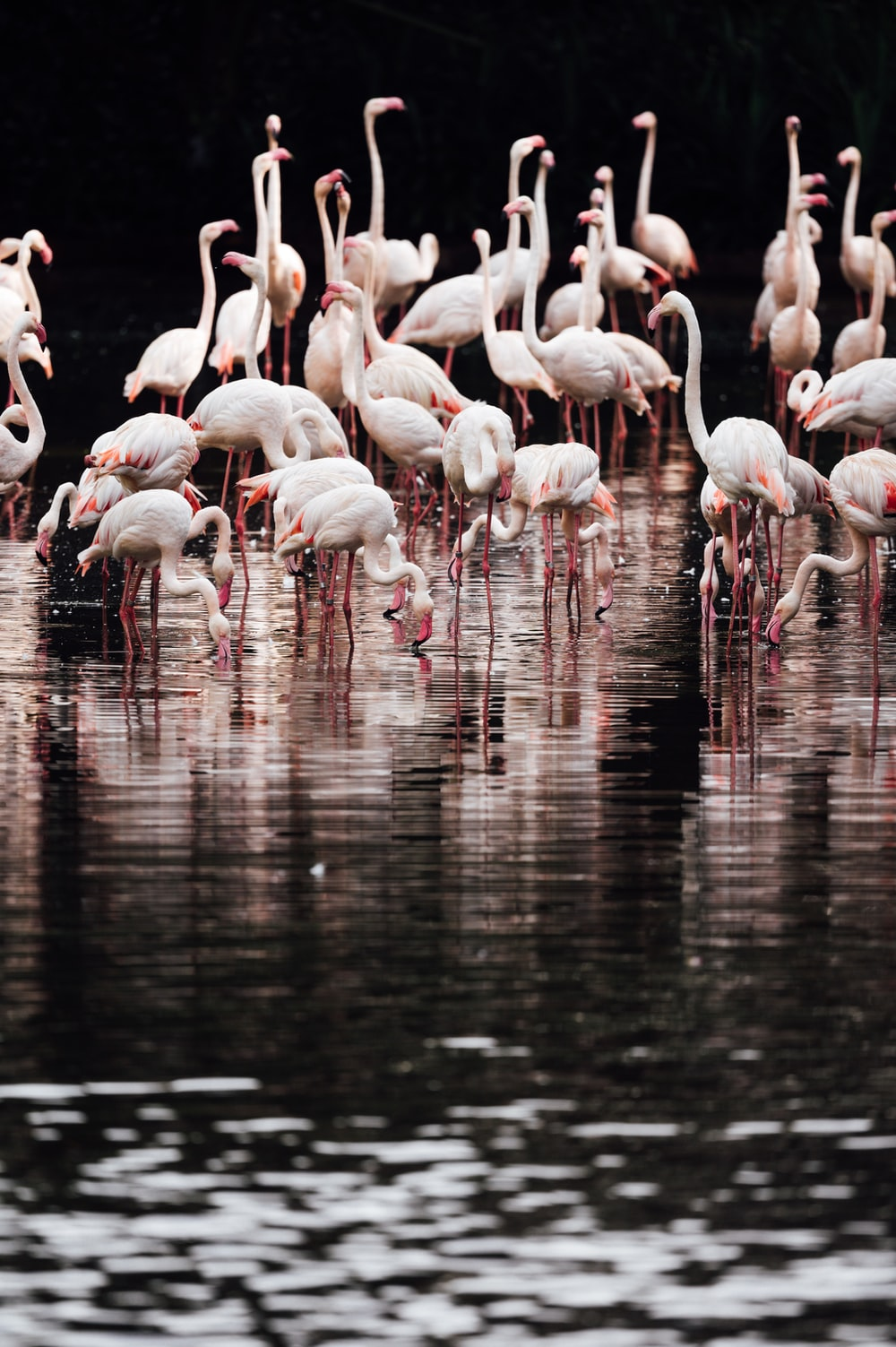 flock of flamingos on water during daytime
