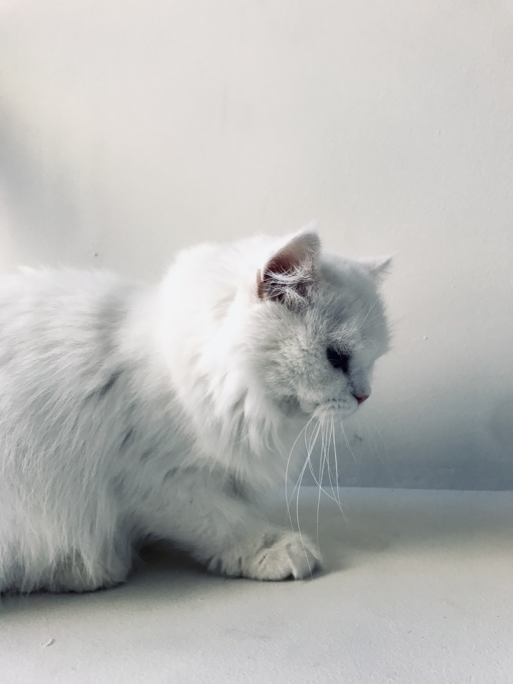 white cat on white table