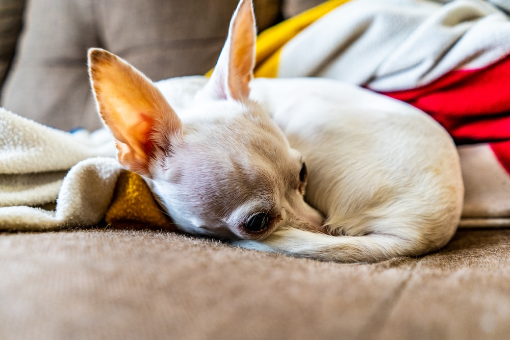 white chihuahua lying on brown textile