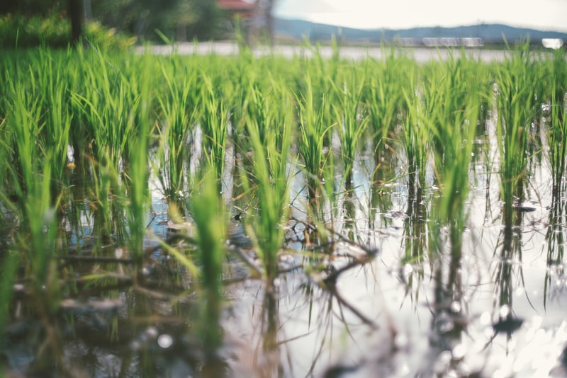 young green grass on water