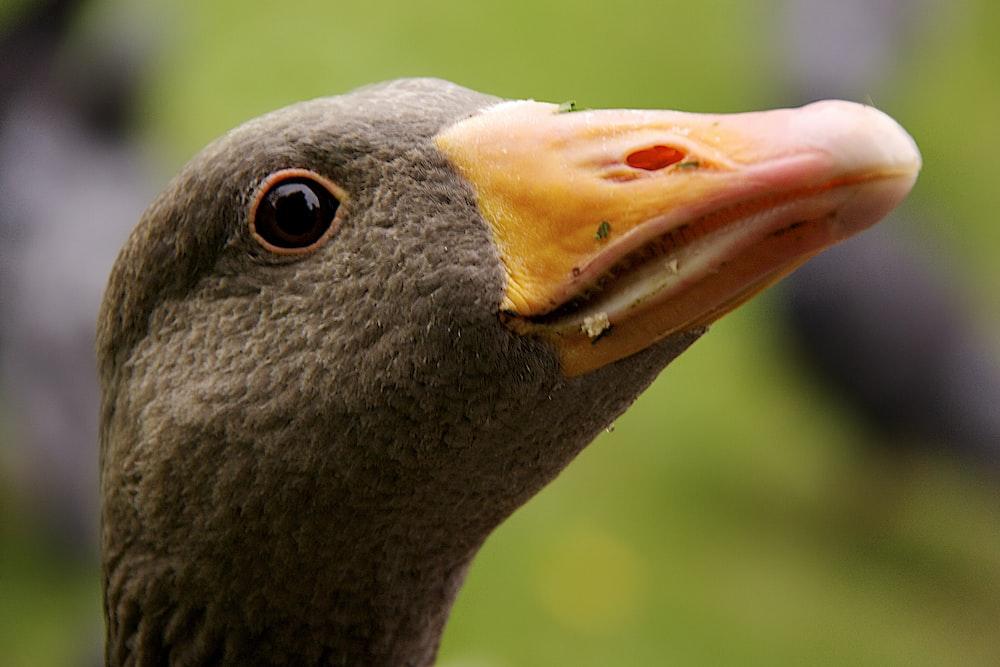 black duck with yellow beak
