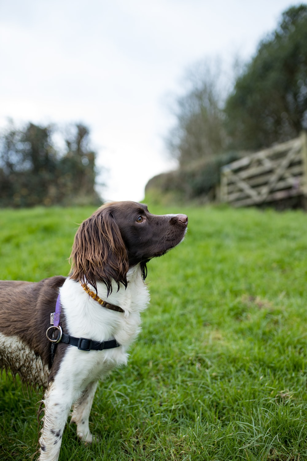 brown and white short coated dog on green grass field during daytime