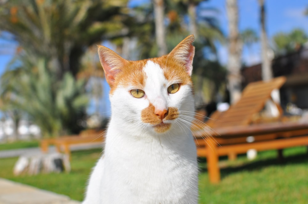 white and orange cat on green grass field during daytime