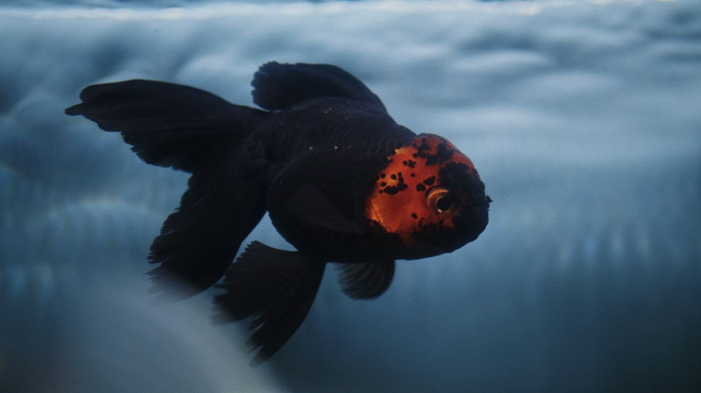 black and red fish in water