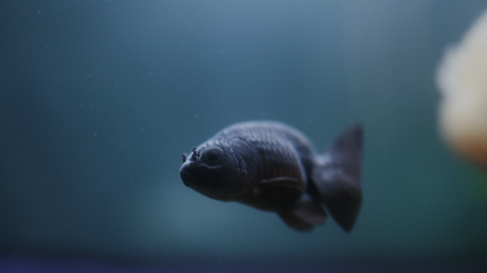 black and gray fish in water