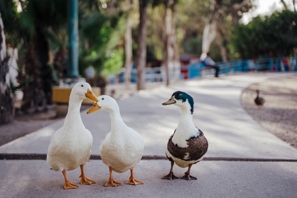 white duck on brown wooden floor