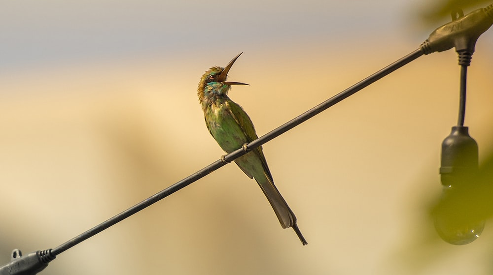 green and brown bird on black wire