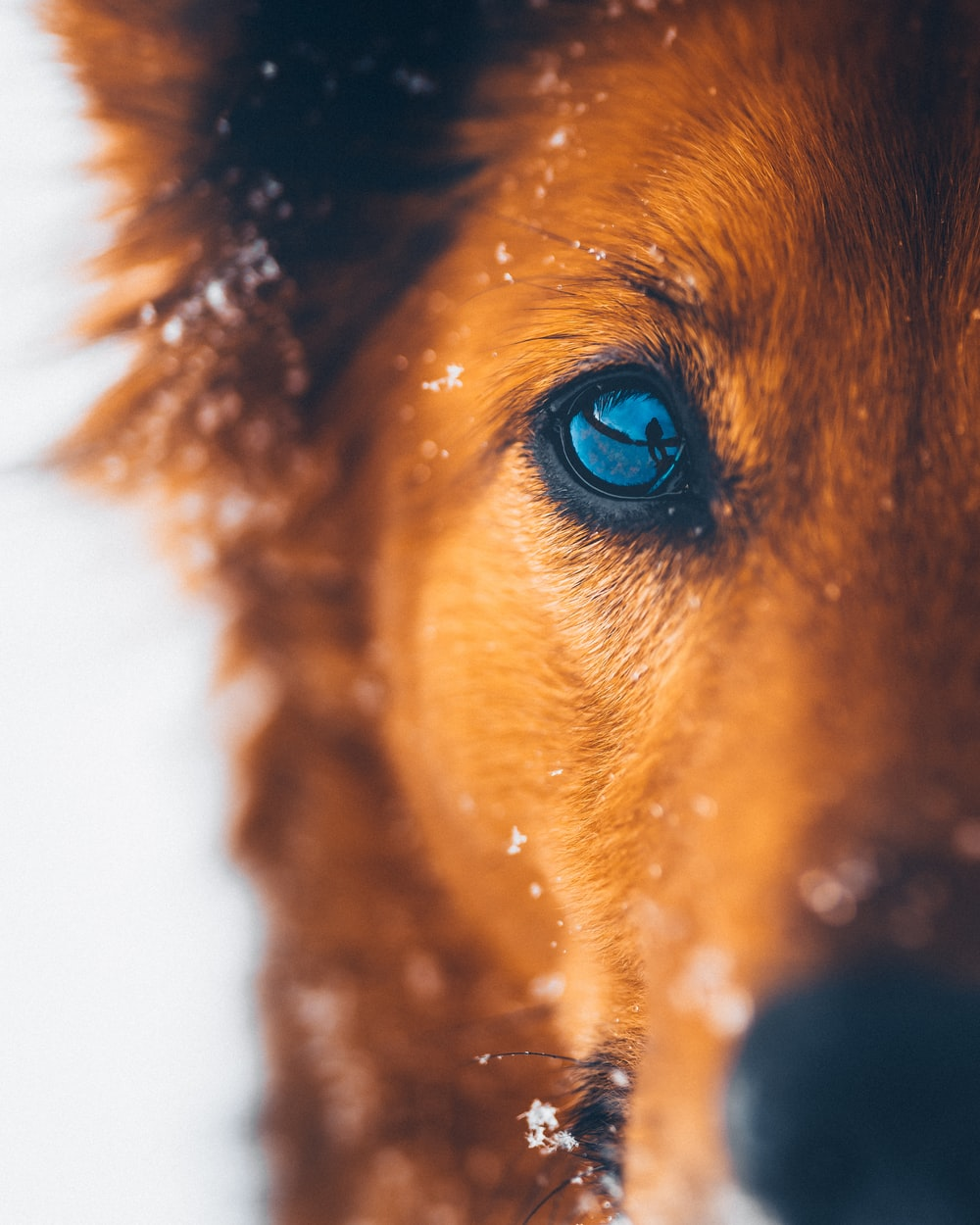 brown short coated dog with blue eyes
