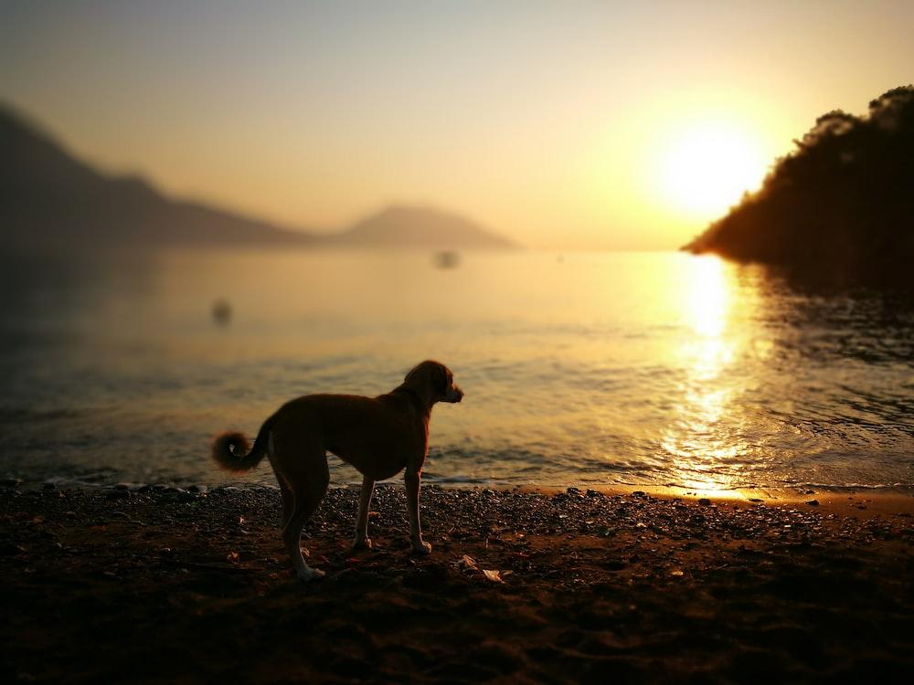 black and white short coated dog standing on seashore during sunset