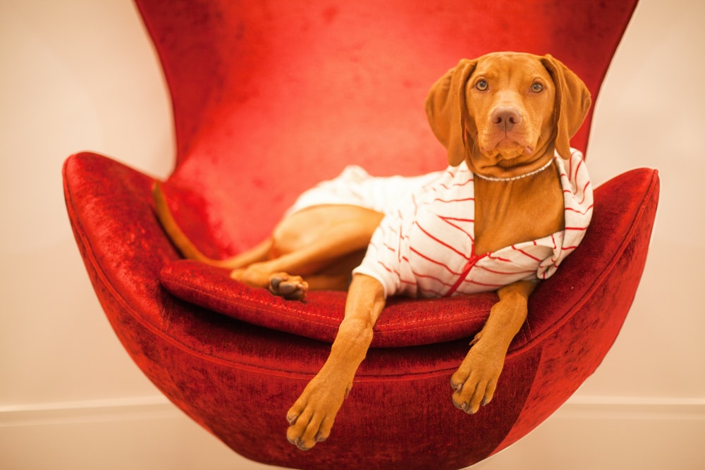 brown short coated dog lying on red and white textile