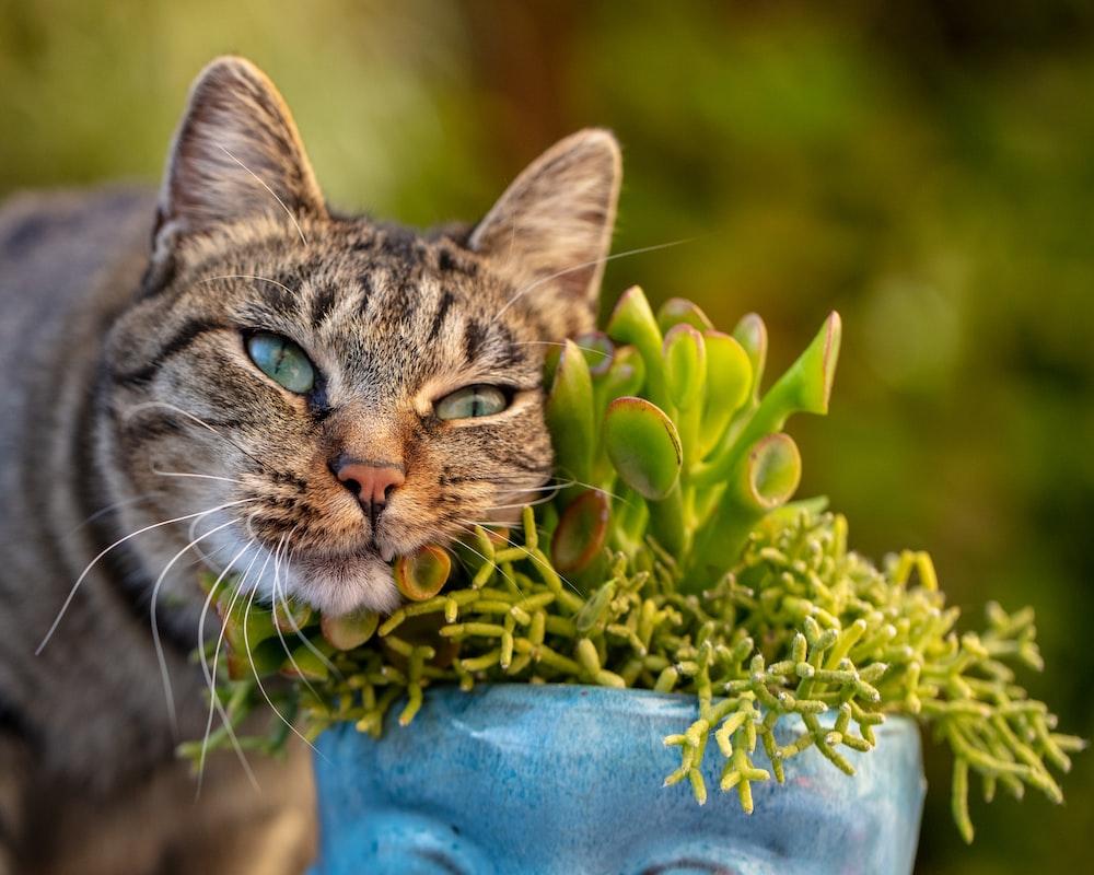 brown tabby cat on blue ceramic vase