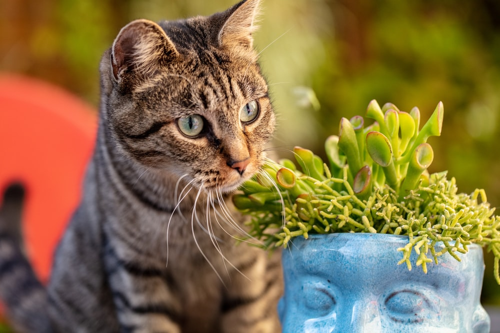 brown tabby cat in blue ceramic vase