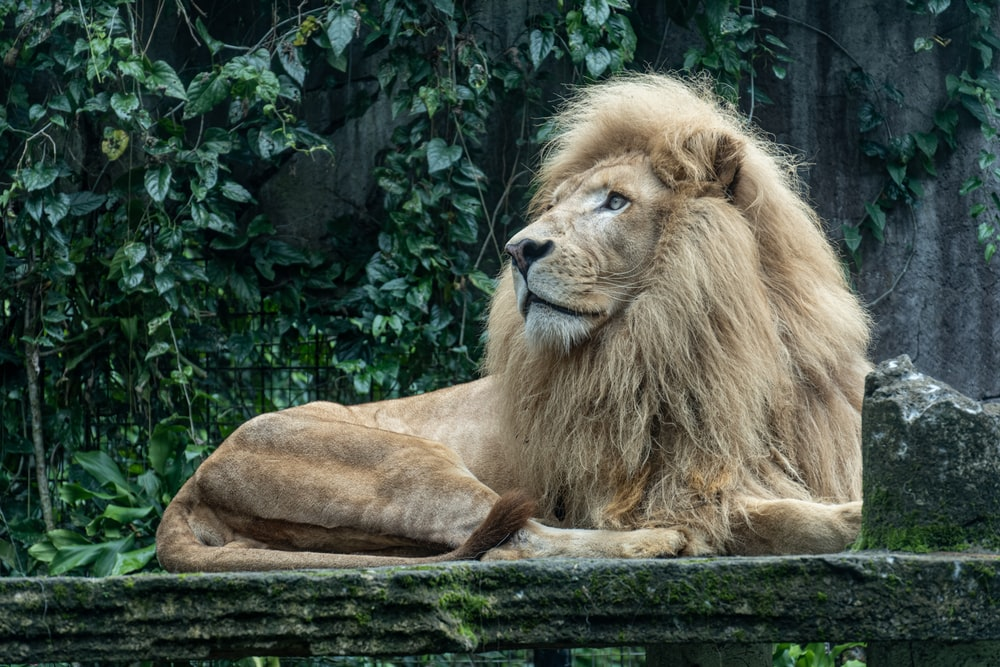 lion lying on ground near green trees during daytime