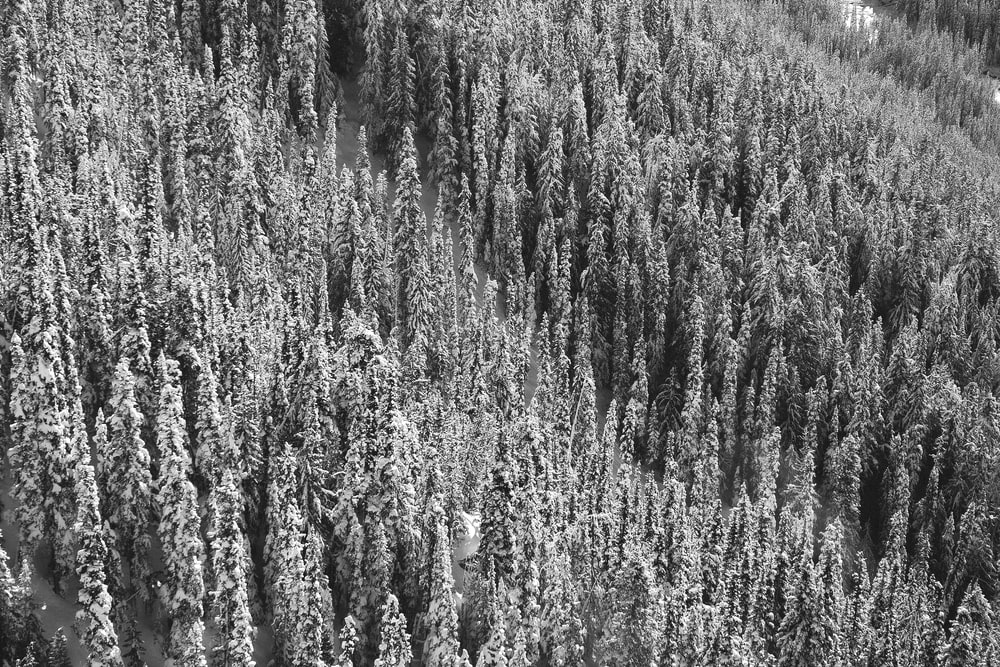 grayscale photo of snow covered trees