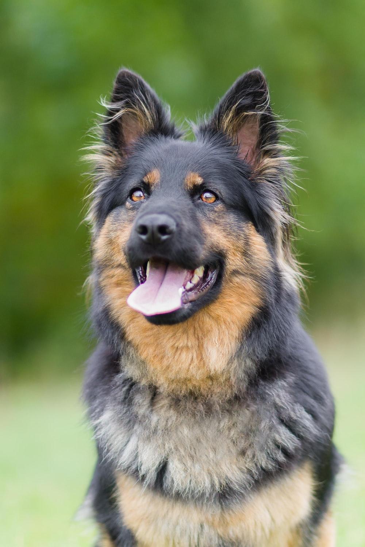 black and tan german shepherd