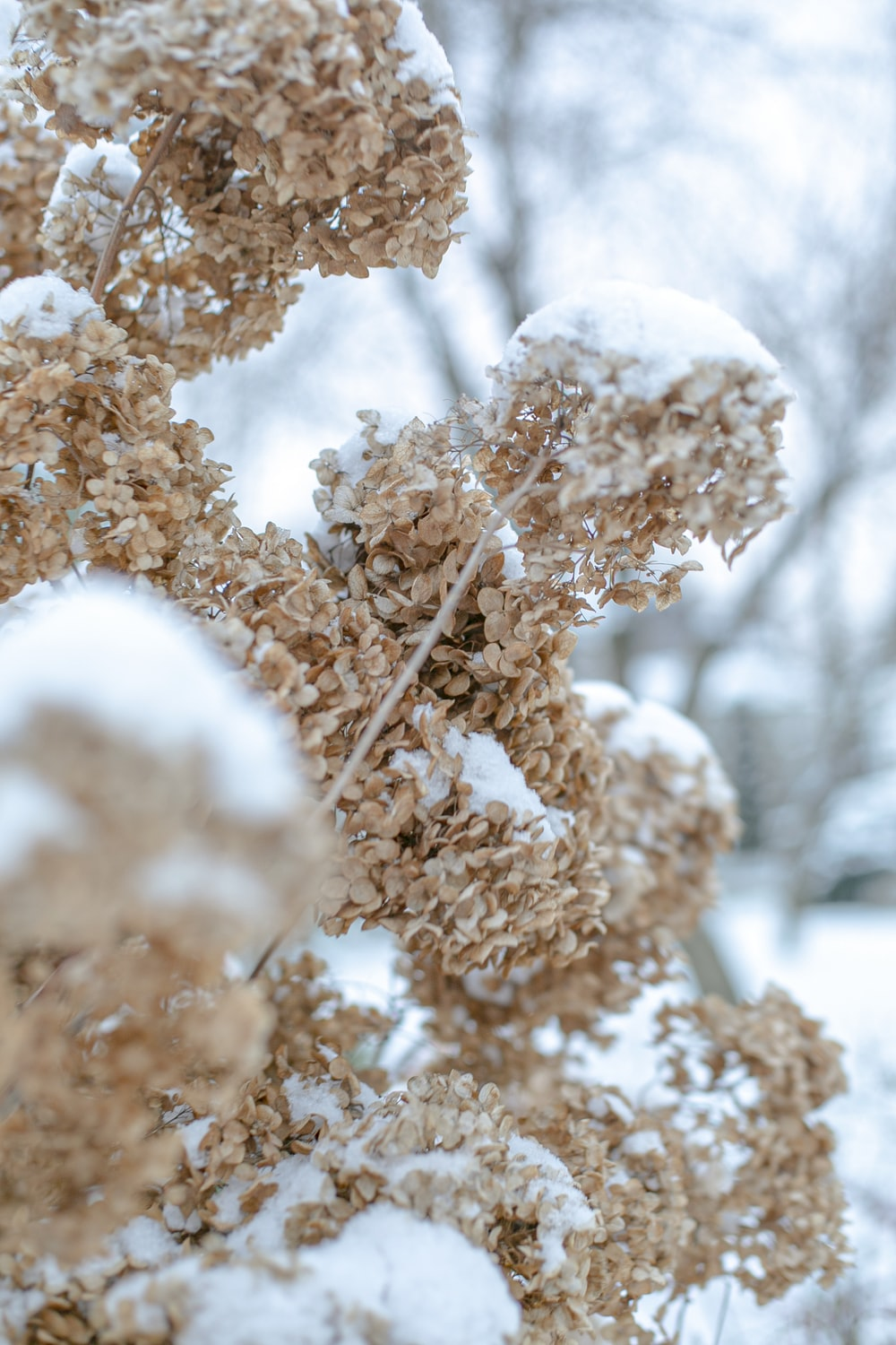 brown plant covered with snow