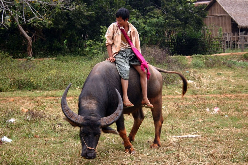 woman in gray tank top and gray shorts standing beside brown water buffalo during daytime