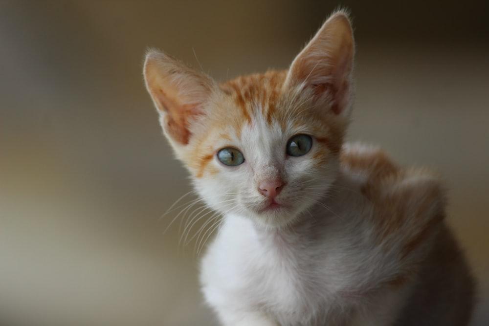 orange and white tabby cat