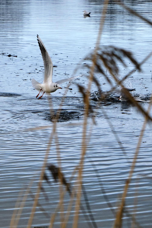 white bird flying over water during daytime