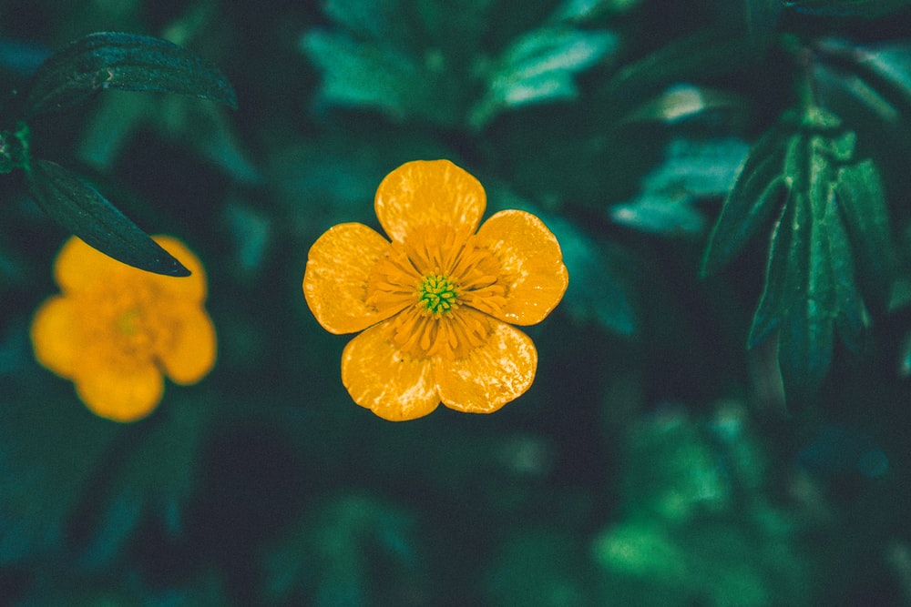 yellow 5 petaled flower in close up photography
