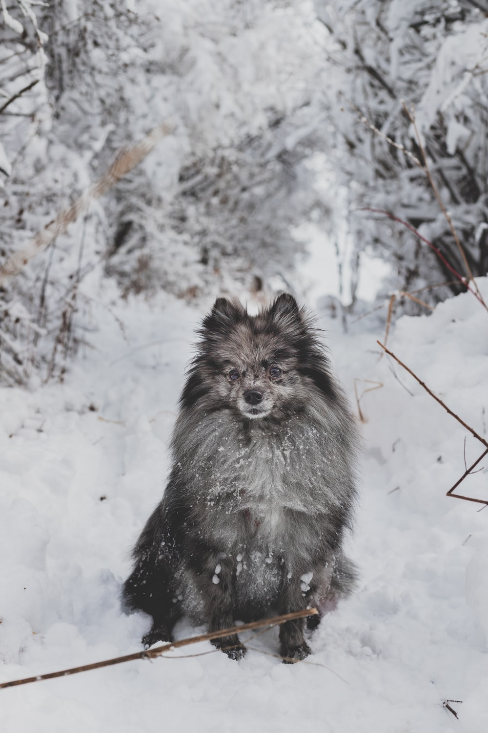 black and white long coated dog on snow covered ground during daytime pomeranians
