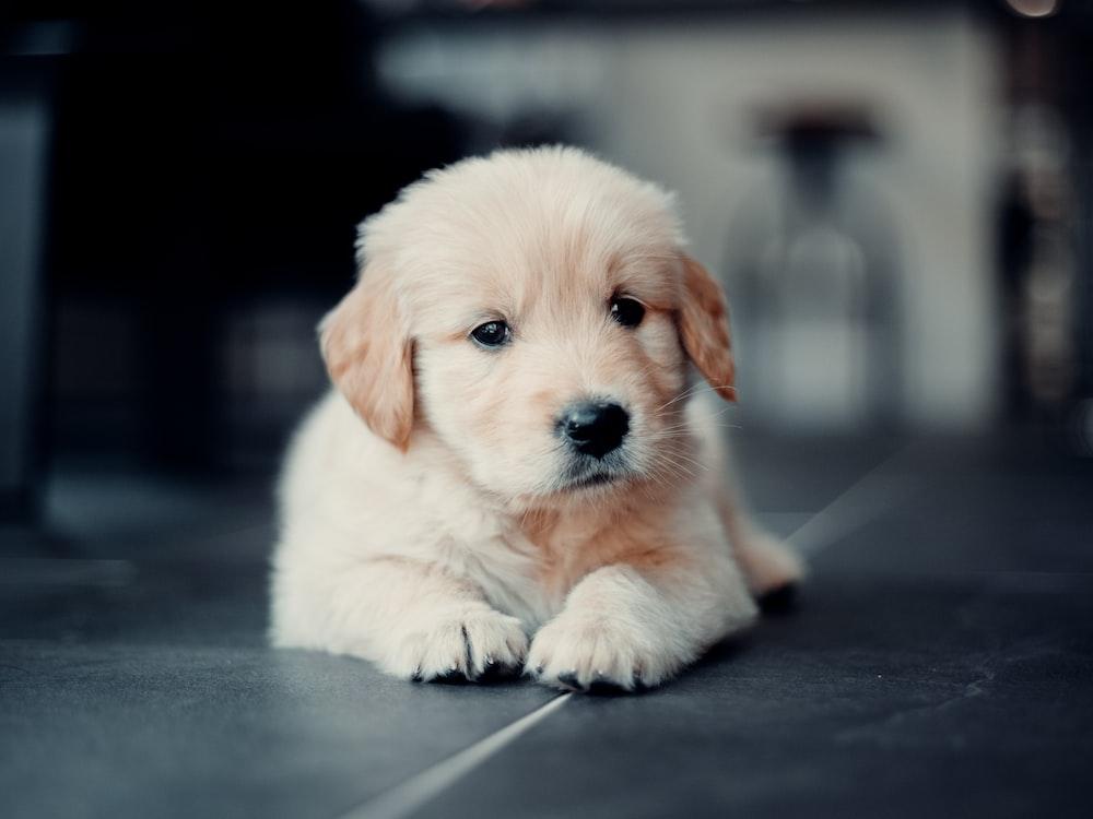 golden retriever puppy lying on floor
