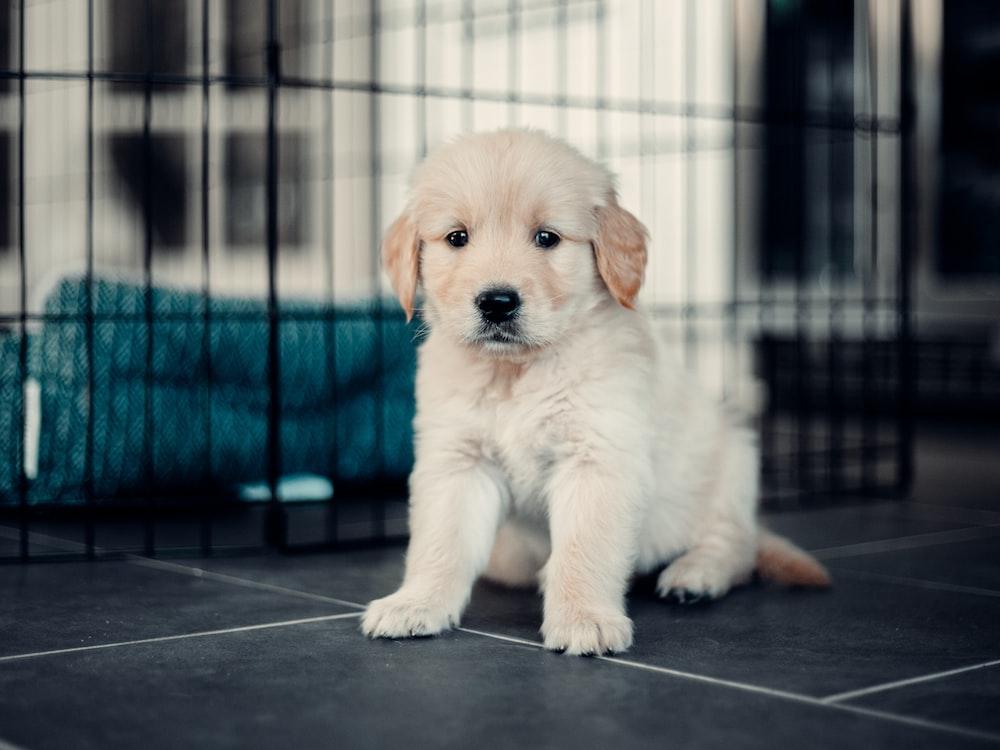 yellow labrador retriever puppy on black floor tiles