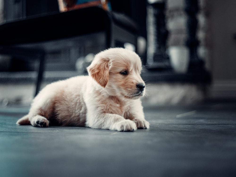 golden retriever puppy on black floor