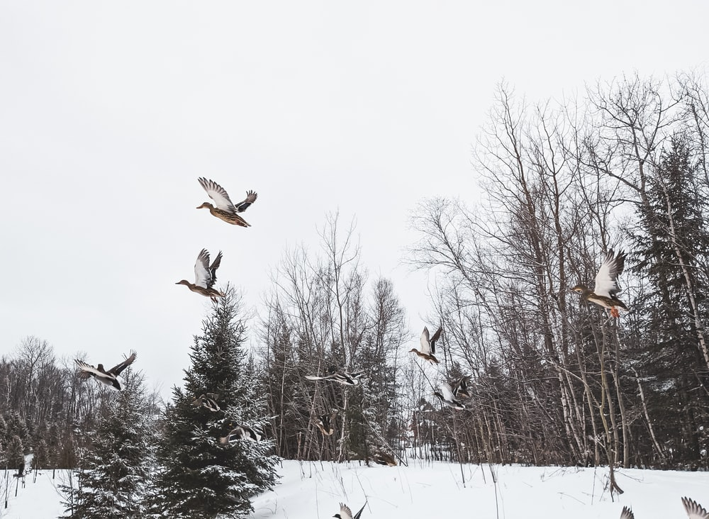 birds flying over snow covered trees during daytime