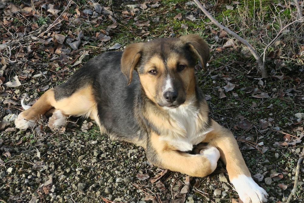 black and tan short coat medium sized dog sitting on ground
