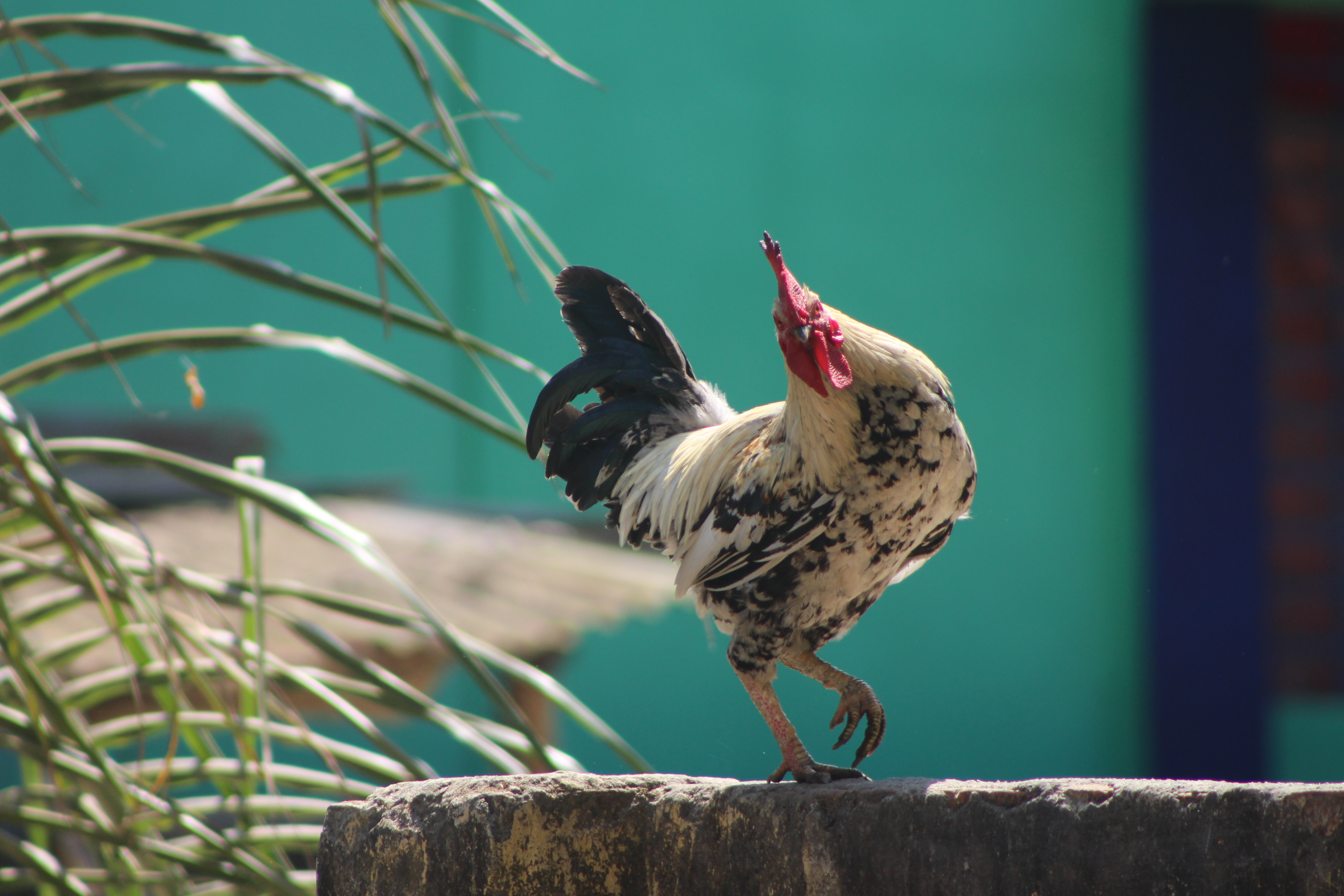white black and brown rooster on brown wooden post during daytime
