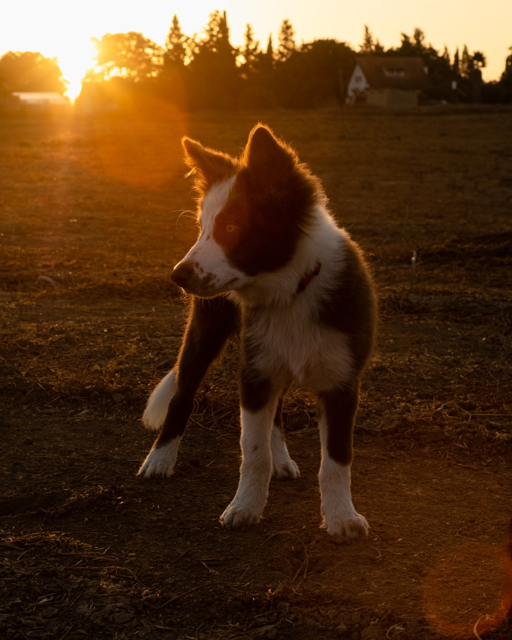 brown and white border collie mix puppy on field during sunset
