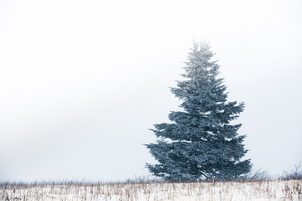 green pine trees on snow covered ground