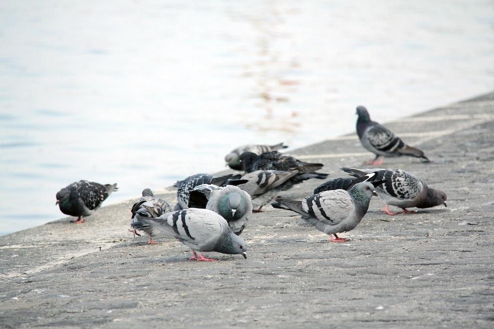 flock of gray and white birds on gray concrete floor