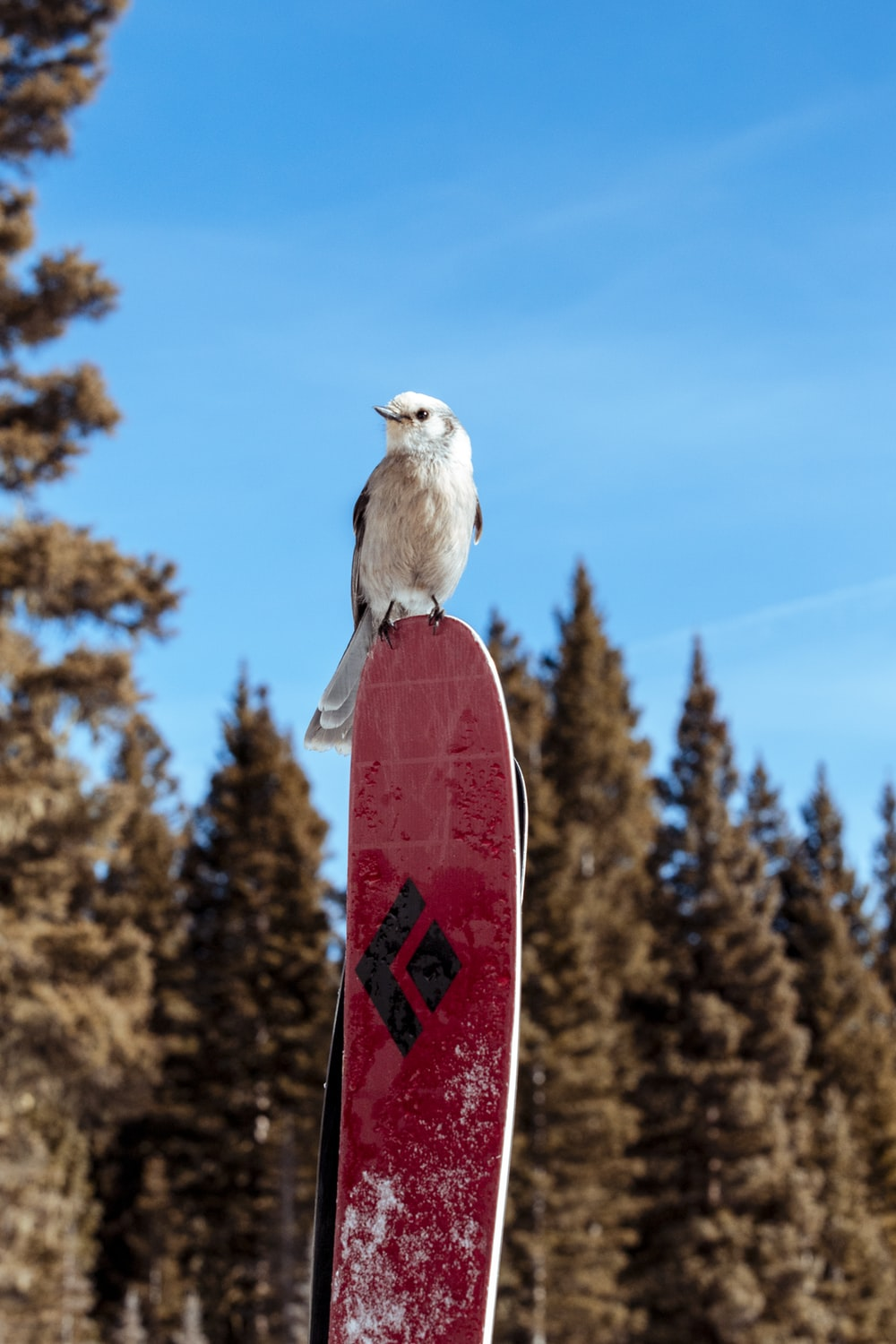 white and brown bird on red and white snow board