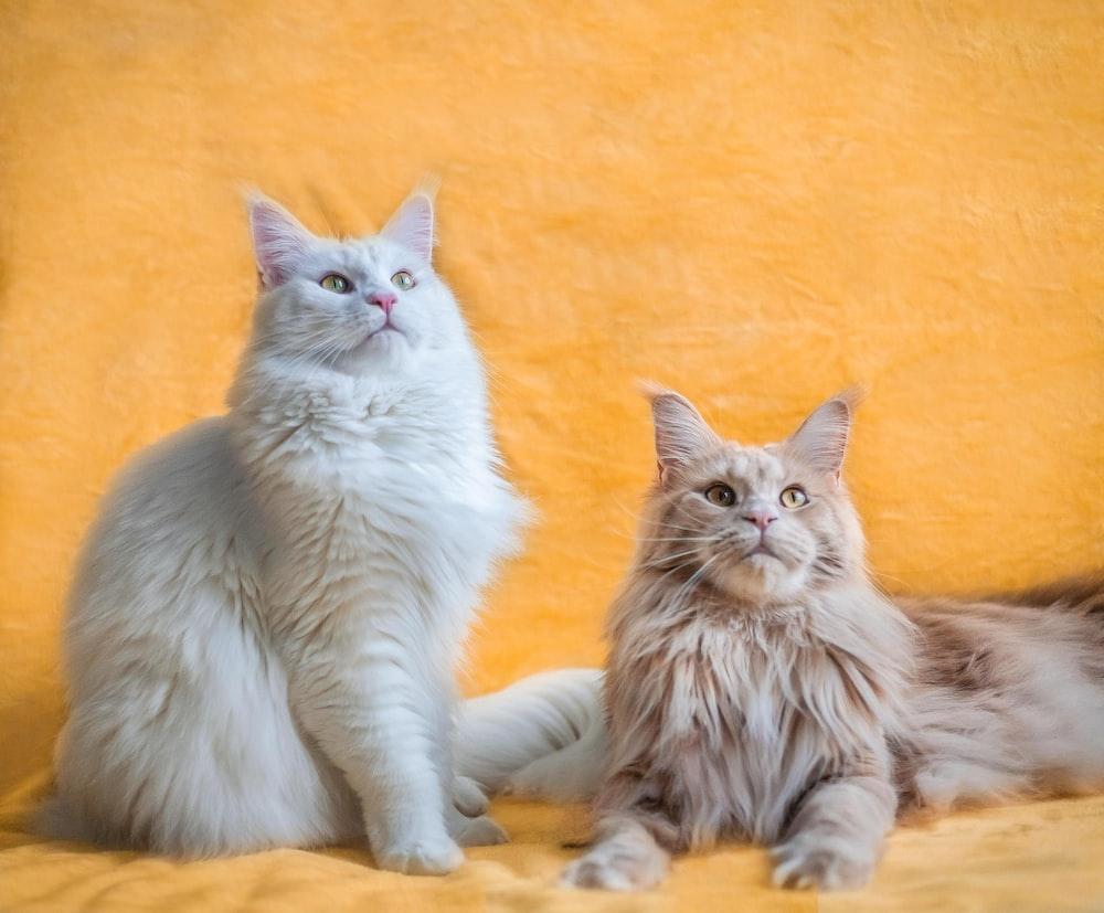 white long fur cat lying on orange textile