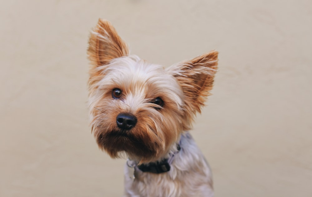 brown and gray yorkshire terrier puppy